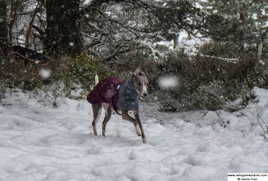 blue whippet in winter coat running through forest trail in the snow