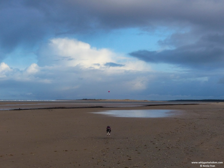 clouds and blue sky in winter by the Old Bar at low tide with a blue whippet chasing a pink ball