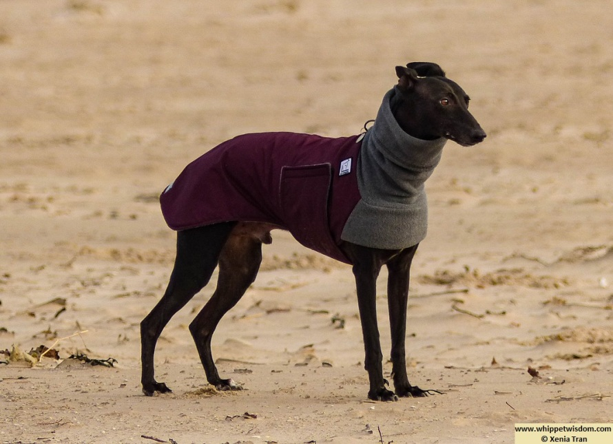 black whippet in winter coat in the morning sun on the beach at low tide