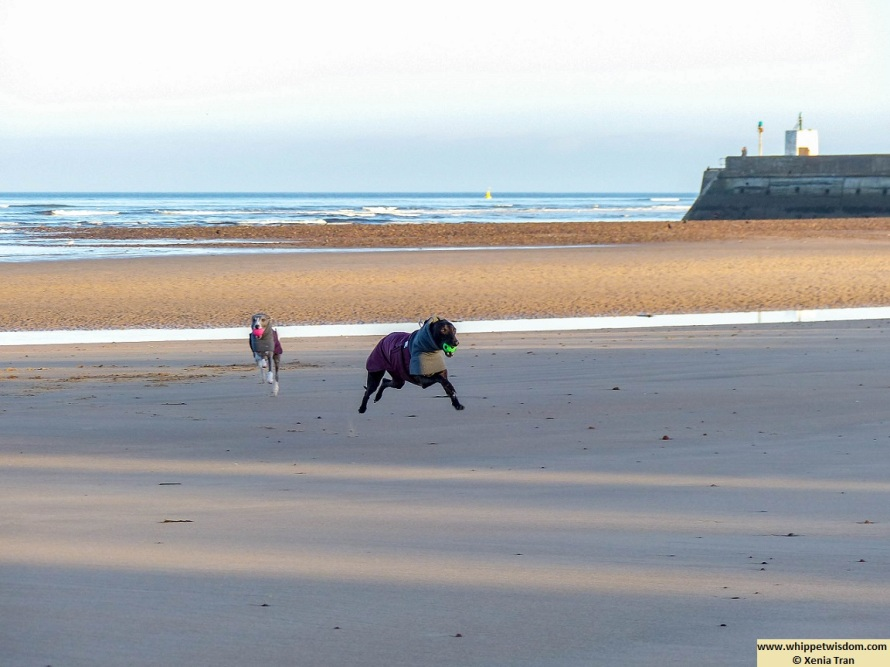 a blue whippet with a pink ball and a black whippet with a green ball running on the beach in wintercoats