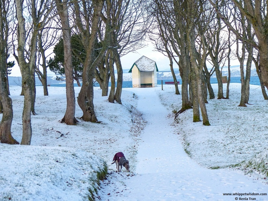 blue whippet in a winter jacket on snow covered path with trees and viewpoint shelter overlooking the water