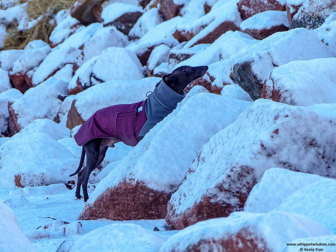 black whippet in a winter jacket on snow covered beach looking up by the stones