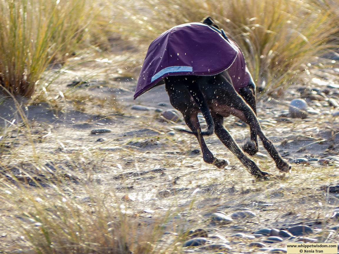 rear view of black whippet in winter jacket running up a dune