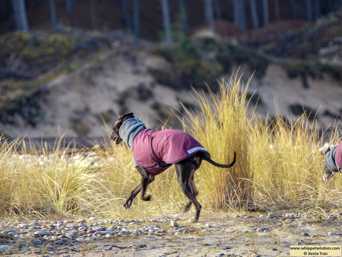 black whippet in winter jacket running along the river bank