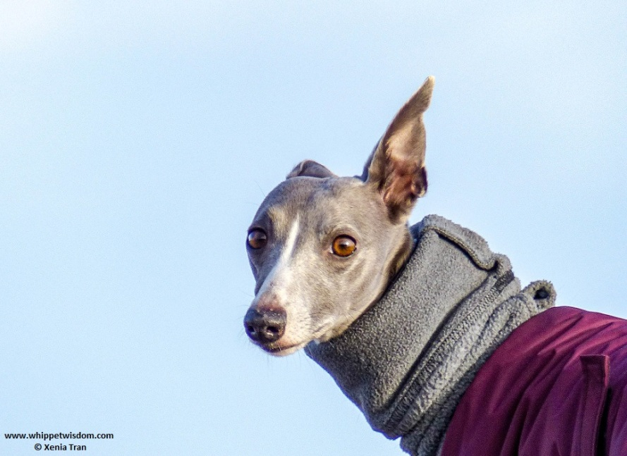 portrait of blue whippet in winter jacket looking over her shoulder