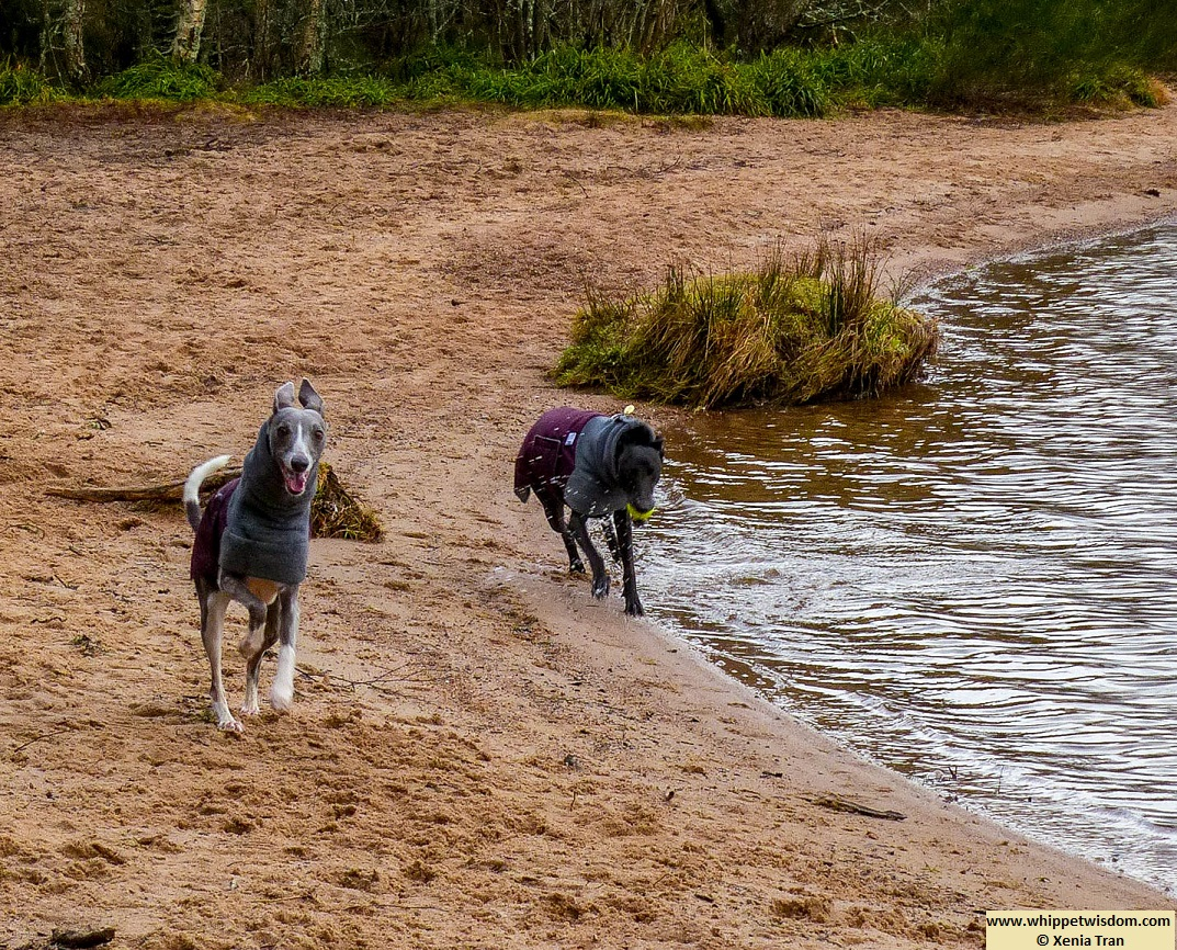 two whippets in winter jackets running along the loch shore