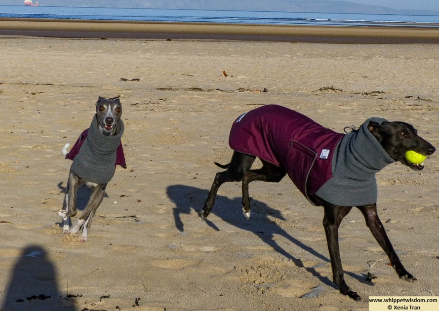two whippets in winter jackets playing on the beach