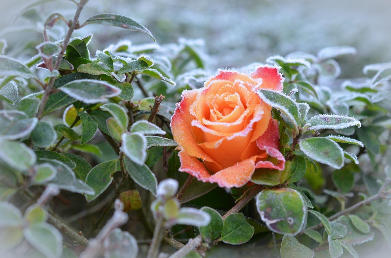 rose-490947_1920