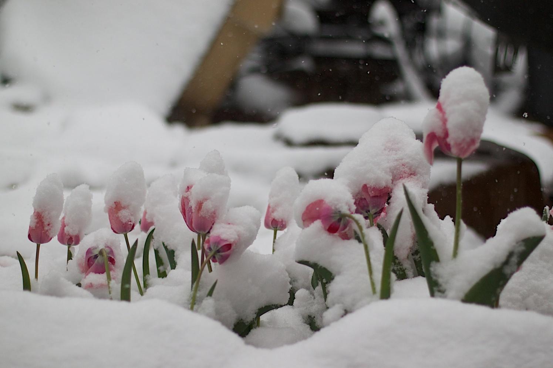 blossom-snow-winter-plant-white-flower-224437-pxhere.com