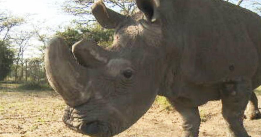 last-male-white-rhino-promo
