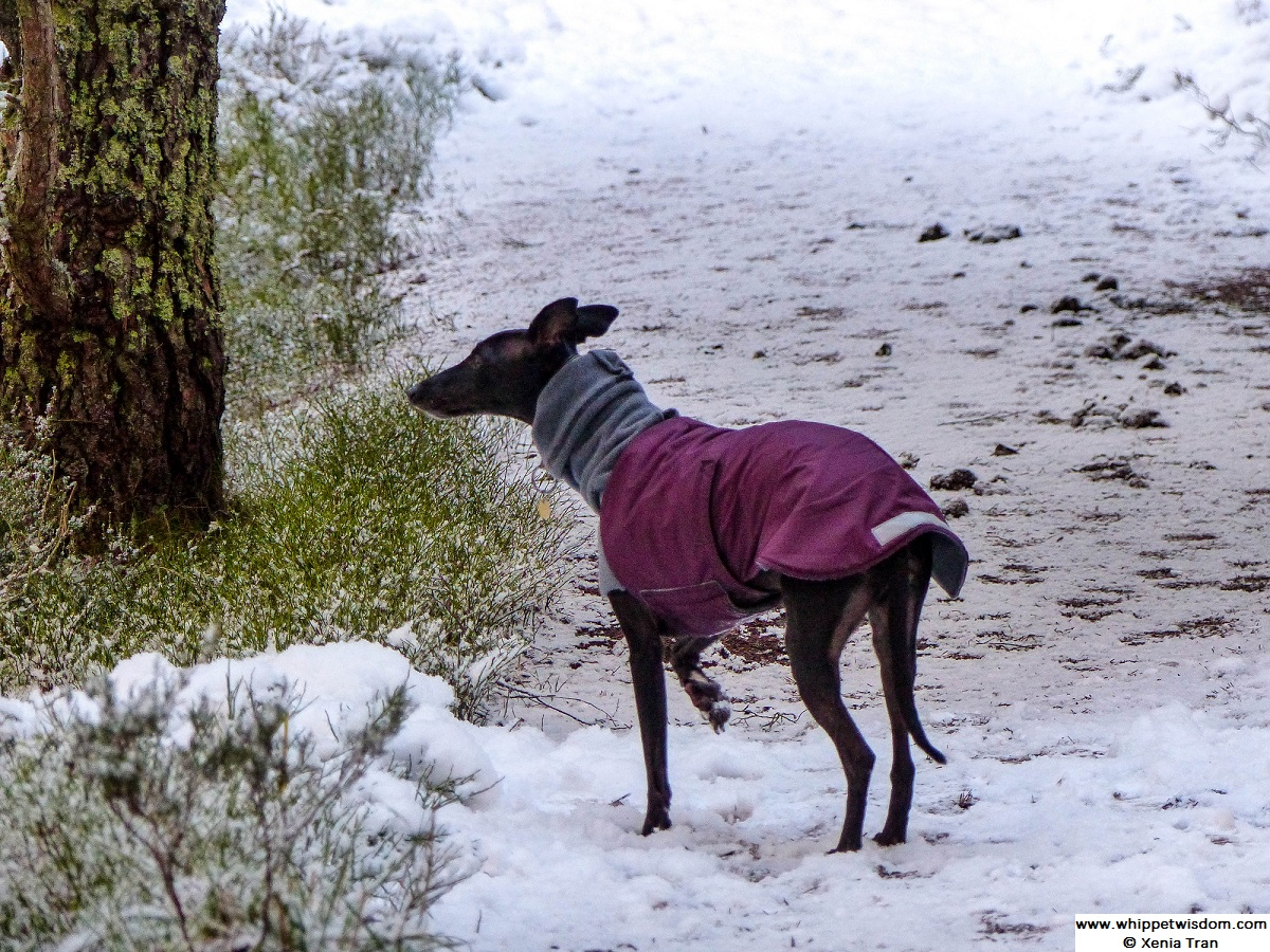 black whippet in winter jacket on snow-covered forest trail