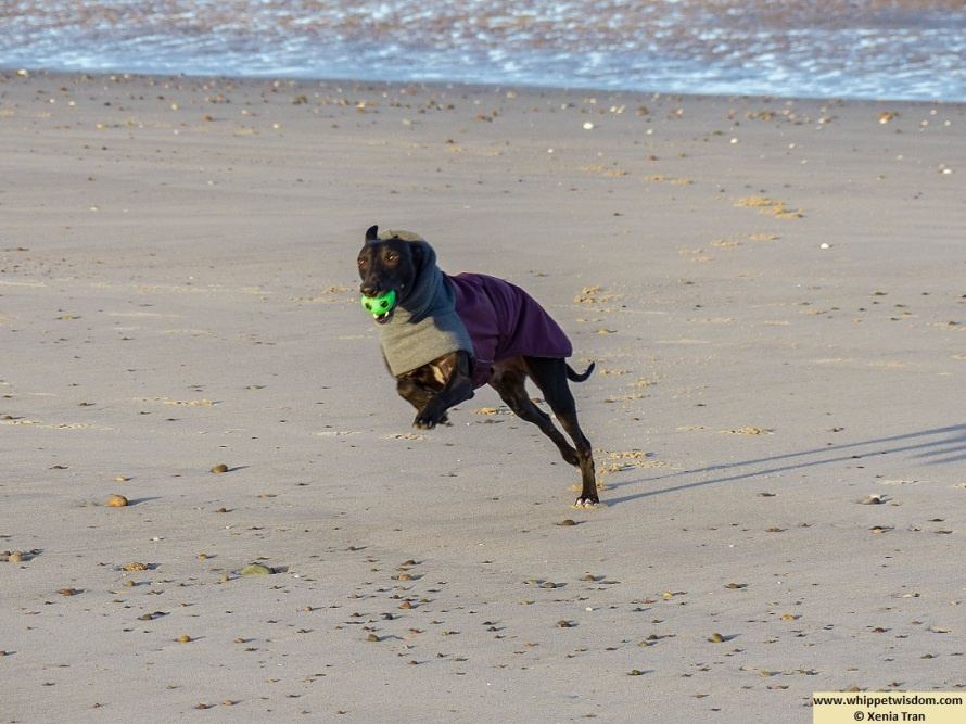black whippet in winter jacket leaping across the beach with a green ball