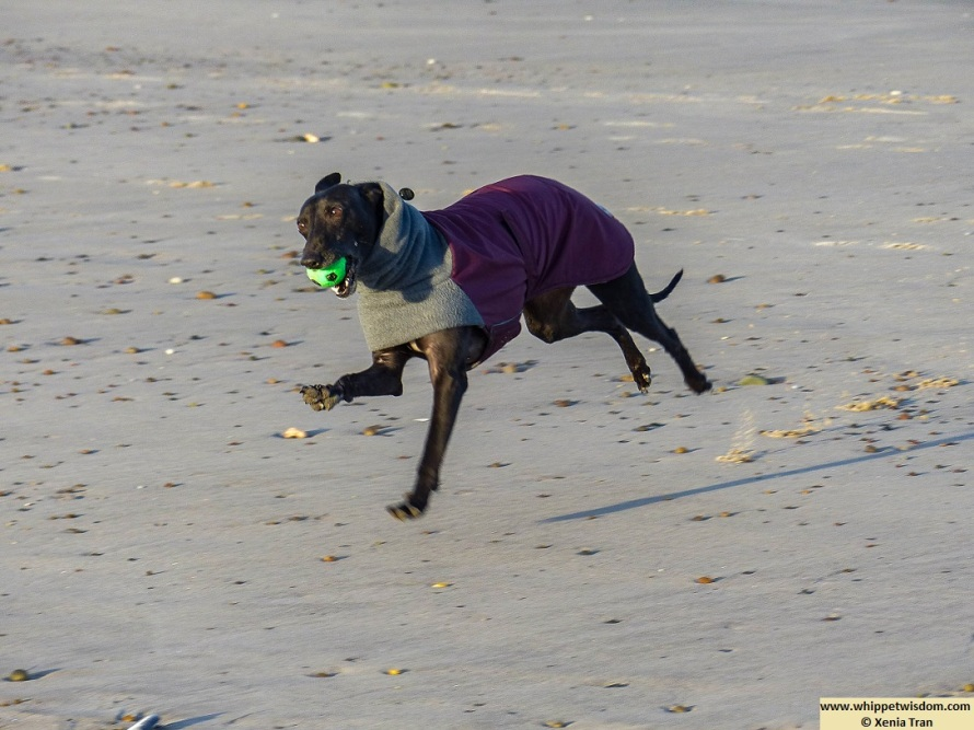 a black whippet in winter jacket running on the beach with a green ball