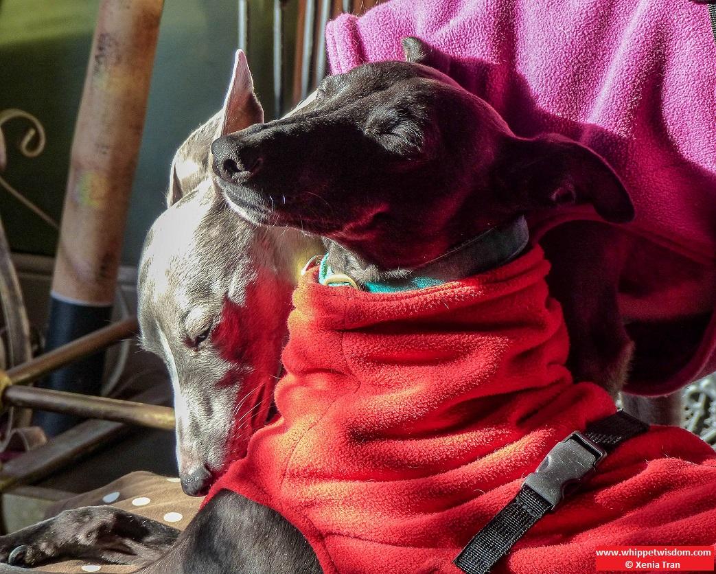 two whippets in fleece jackets sunbathing