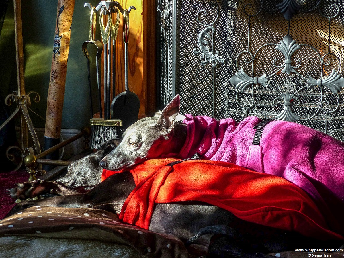 two whippets in fleece jackets snuggled up in front of the fire