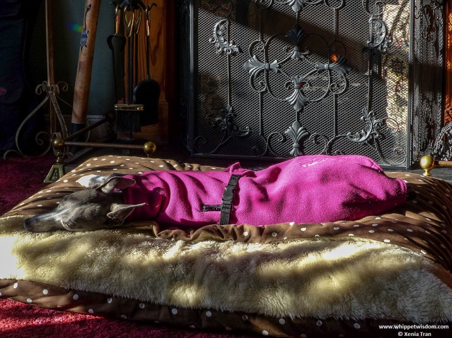blue whippet in pink fleece sleeping in front of the fireplace