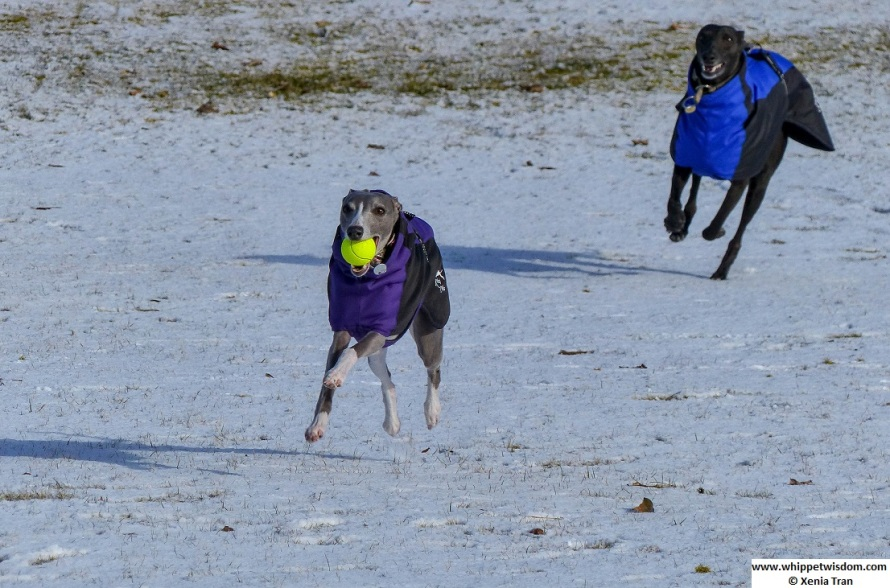 two whippets in winter jackets playing in the snow