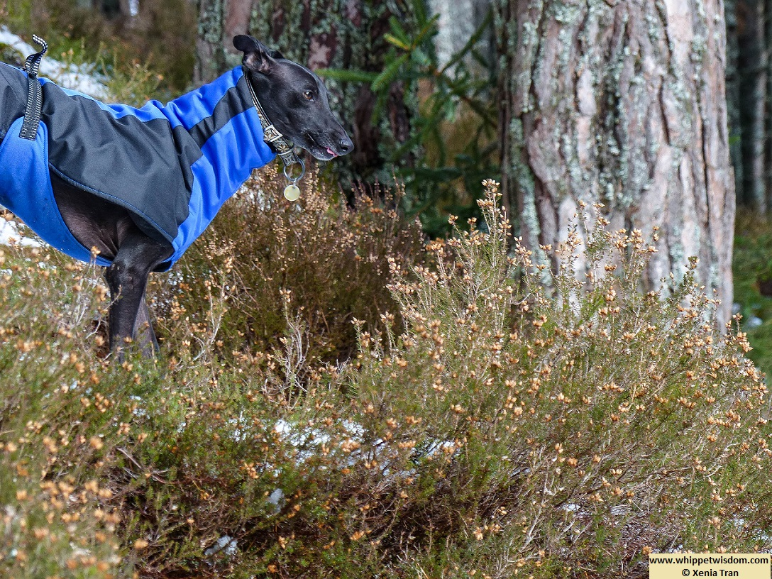 black whippet in winter jacket standing by a tree