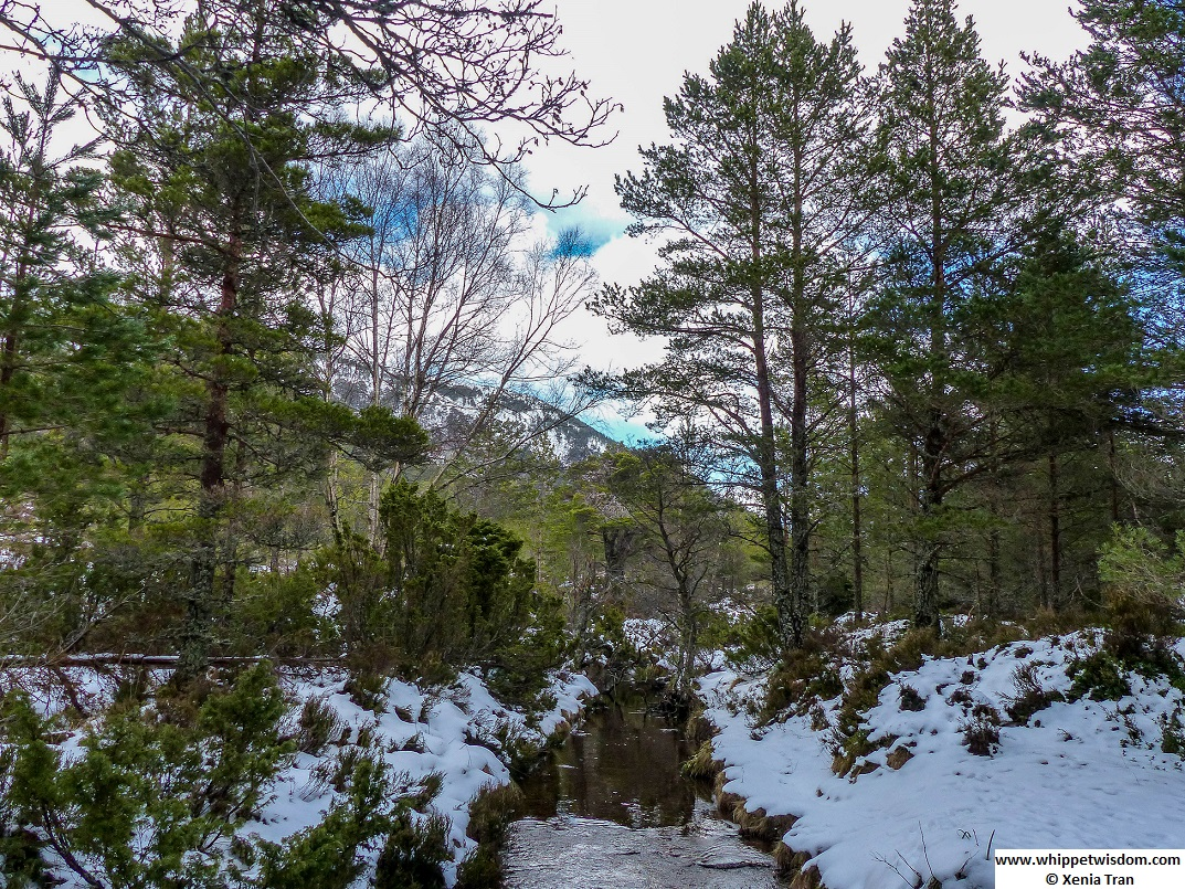 a babbling burn with melting snows in pine forest
