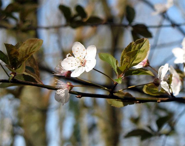 Myrobalan_Plum_Blossom_-_geograph.org.uk_-_367772