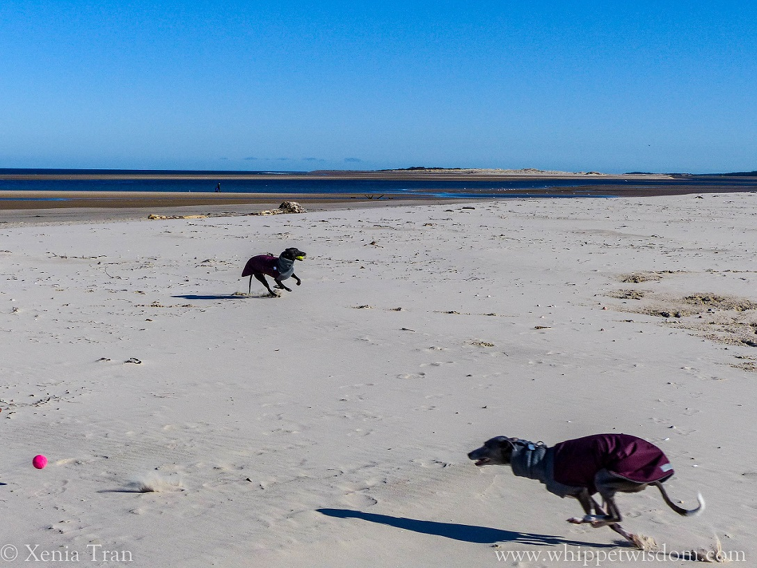 two whippets in winter jackets running on the beach