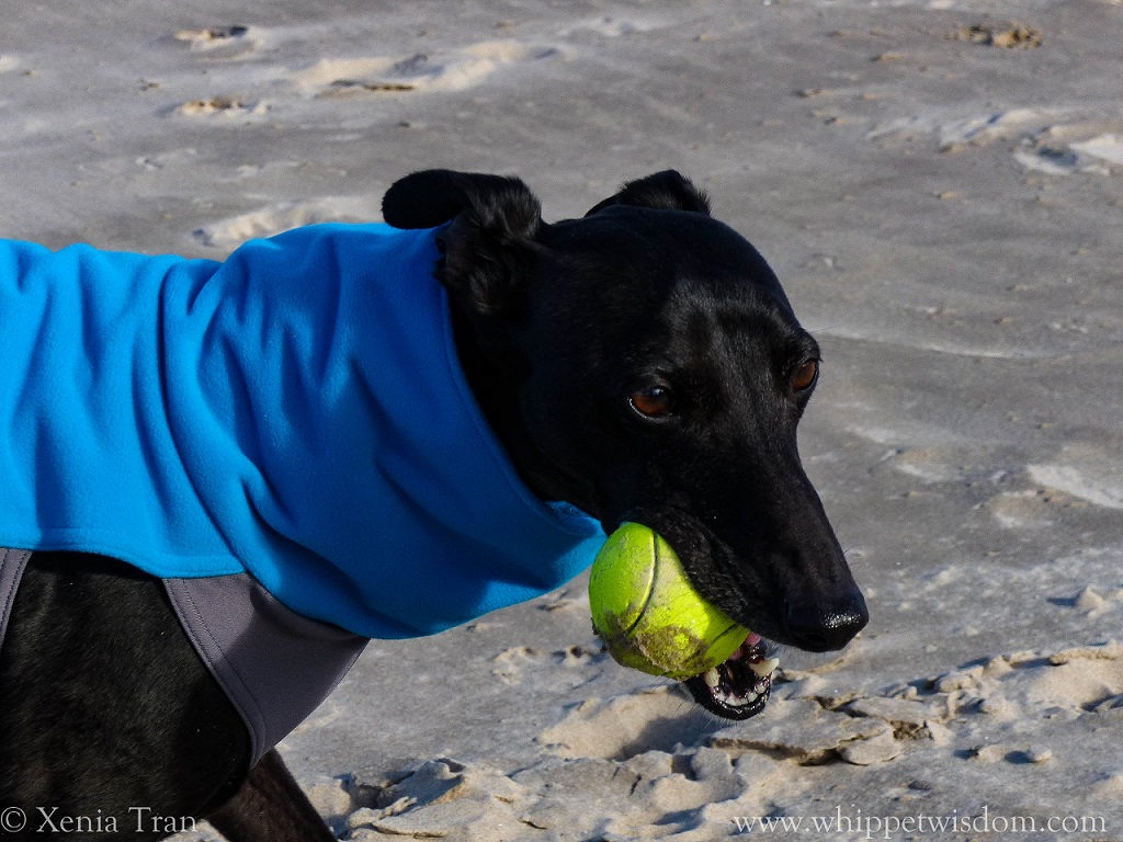 black whippet in blue/grey fleece with a yellow ball on the beach