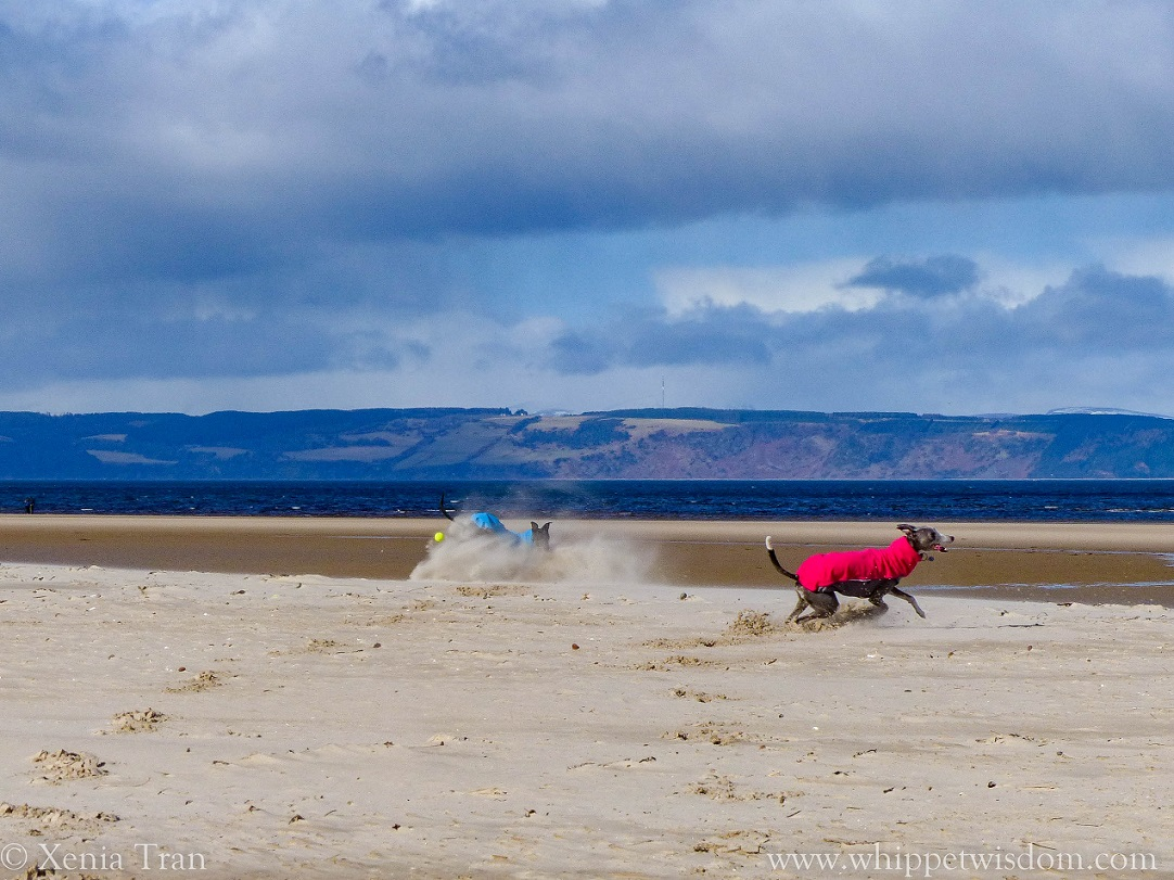 two whippets playing in deep sand on the beach