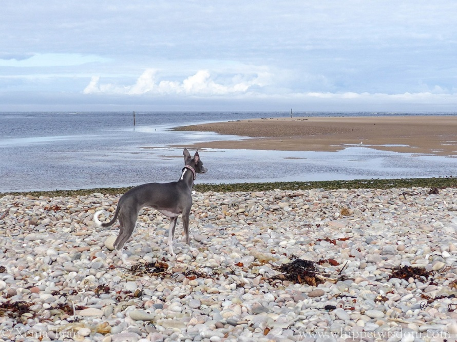 blue whippet standing on shingle, watching over the beach and tidal pools