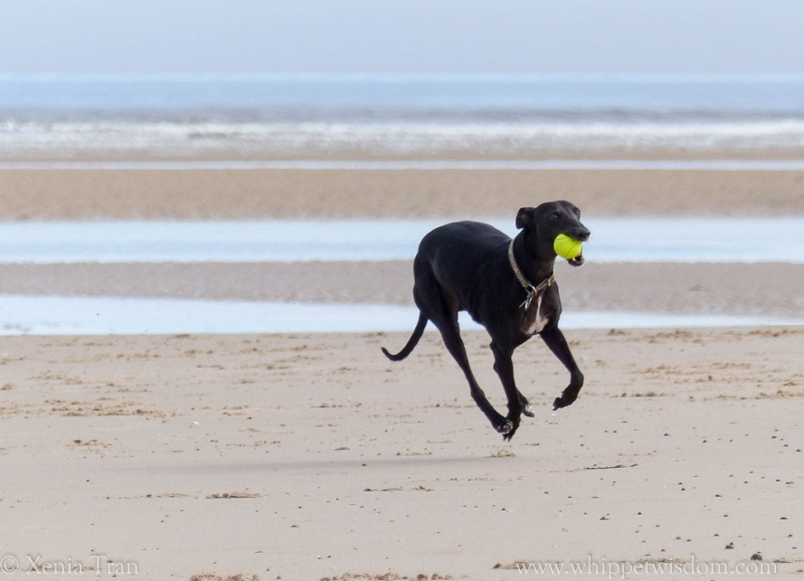 black whippet running on the beach with a yellow ball.
