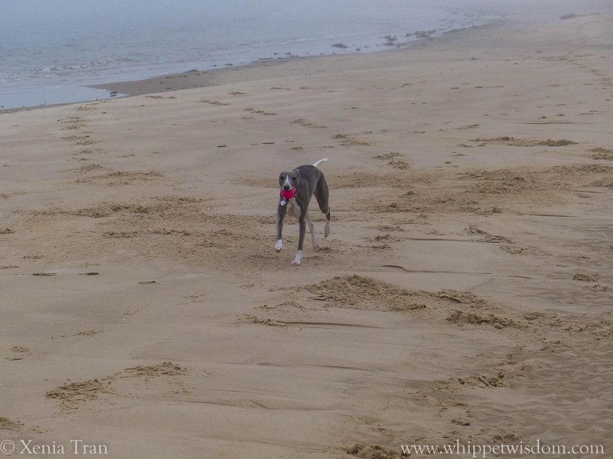 blue whippet appearing from the mist on the beach with a pink ball