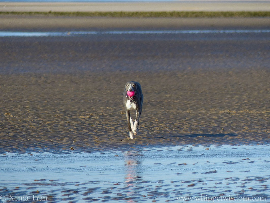 blue whippet running with a pink ball across tidal sands