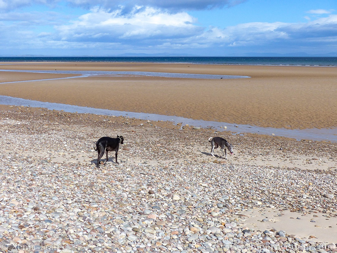 two whippets walking across shingle by the beach at low tide