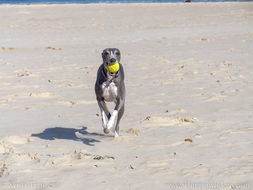 blue whippet running on the beach with a yellow ball