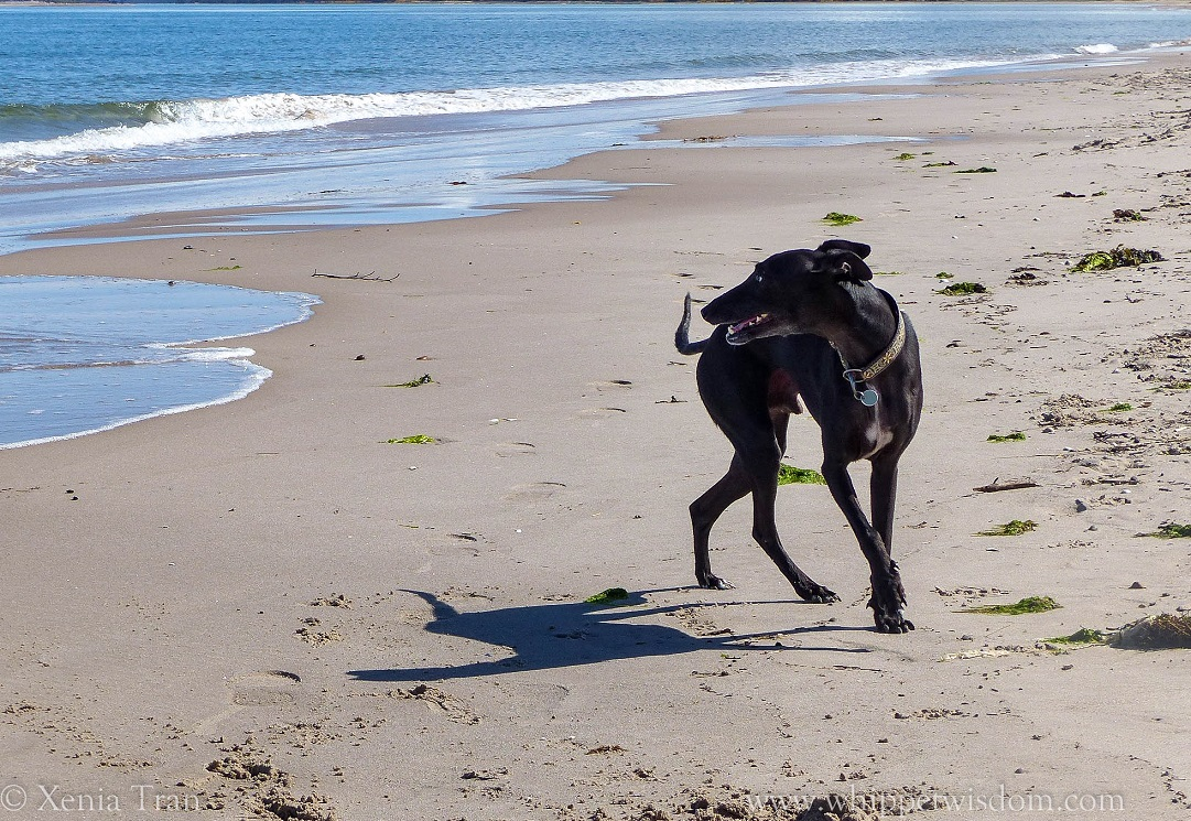 black whippet smiling on the beach and looking over his shoulder at the sea