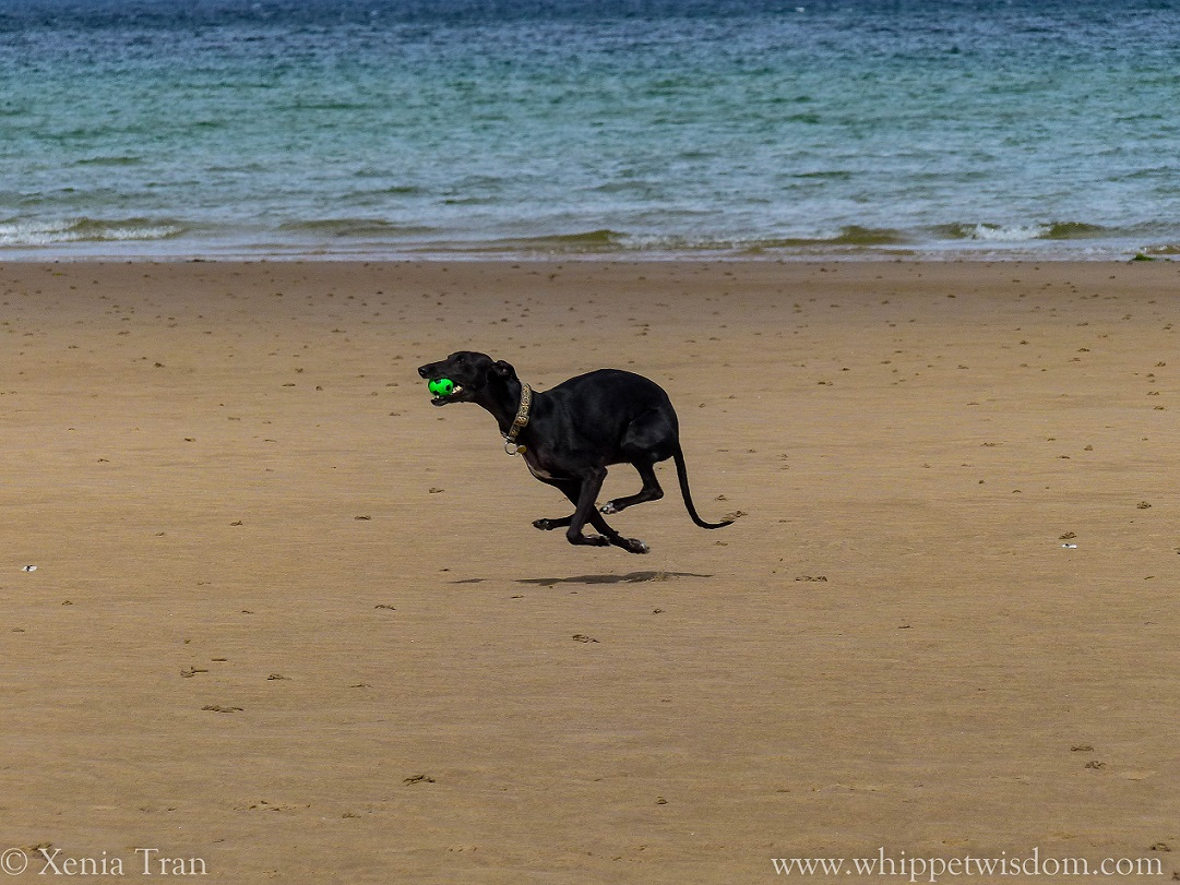 black whippet running with a green ball on the beach
