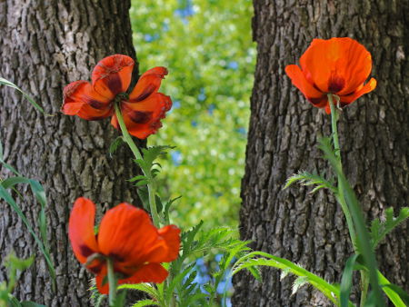 reluctant poppies.jpg
