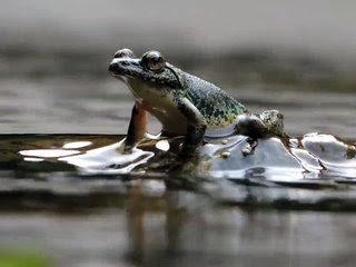 Kajika Frog