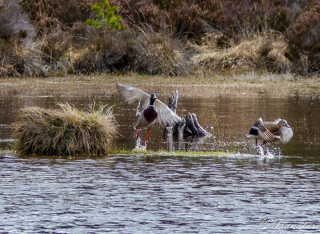 a male and female mallard duck taking off from a small island in the loch