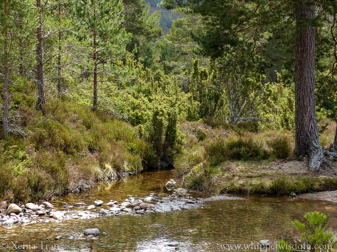 a stream running through the forest with young and mature pine