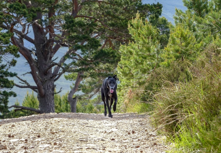 black whippet walking towards the camera on a mountain trail