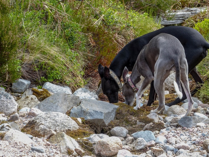 two whippets on a forest trail sniffing the ground