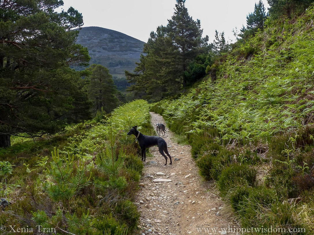 two whippets on a mountain trail with young ferns and pine trees
