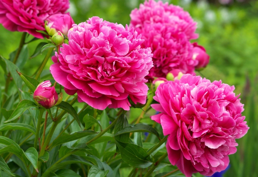 Nature___Flowers_Beautiful_peonies_in_the_woods_066083_.jpg