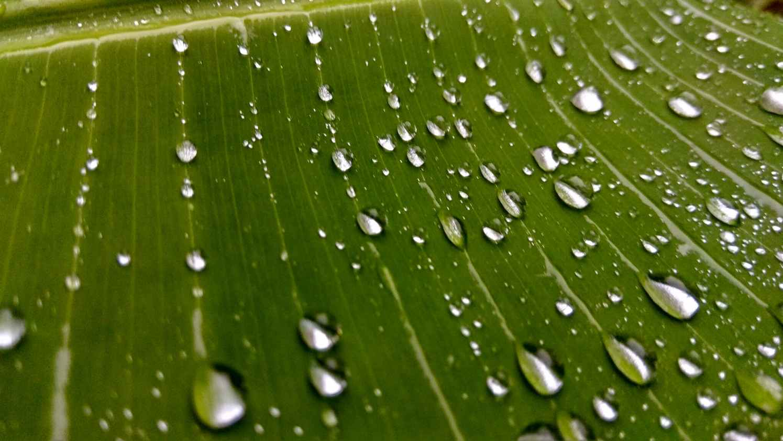 banana tree clean close up dew