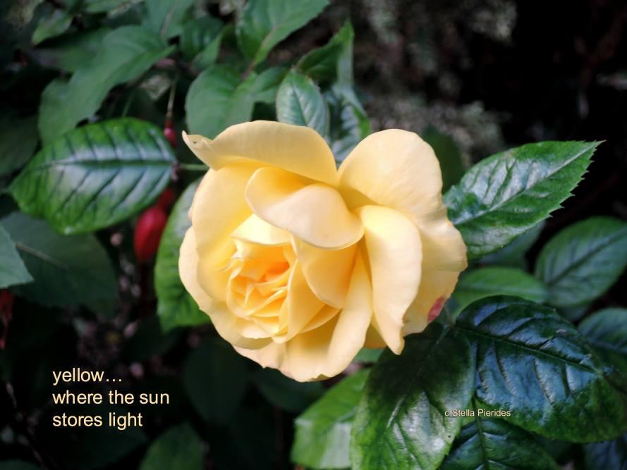 rose,yellow rose,