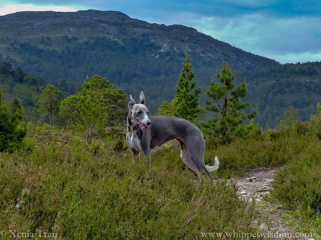 a smiling blue whippet looking to her left on a mountain trail