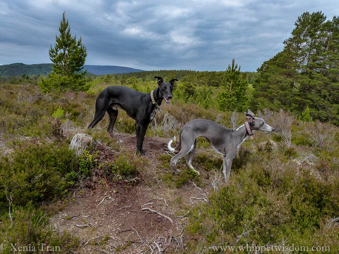 two whippets among heather and young pine trees on top of a hill