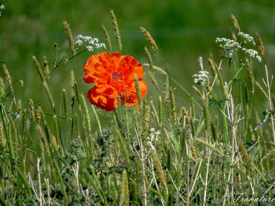 a single orange poppy flower in a field with long grass and wildflowers