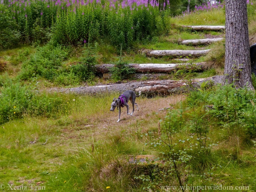 blue whippet in a purple harness walking down a woodland trail