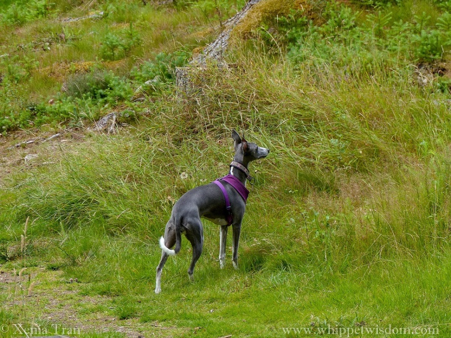 blue whippet in a purple harness standing alert in the grass beside a woodland trail
